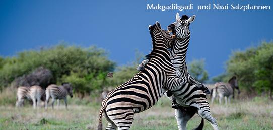 Reisebericht - Die Zebraherden der Makgadikgadi und Nxai Salzpfannen