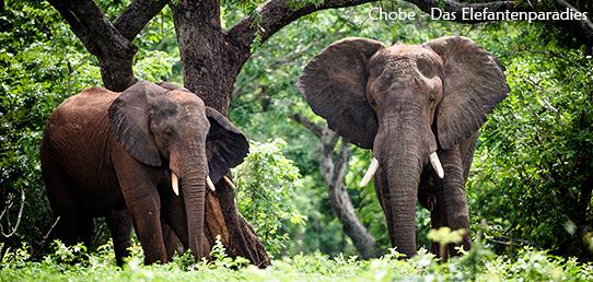 Reisebericht - Elefanten des Chobe Nationalpark