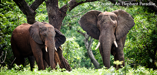 Travel Report - Elephants of Chobe National Park
