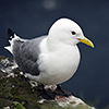 Iceland, Black-legged Kittiwake