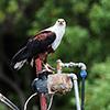 Okavango Delta, Botswana, fish eagle