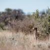 Botswana, Kalahari Transfrontier,cheetah
