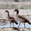 Chobe NP, egyptian goose