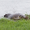 Chobe NP, hippo
