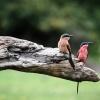 Chobe NP, bee-eater