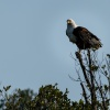 African fish eagle, St. Lucia