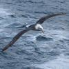 Neuseeland, Doubtful Sound, Albatrosse