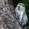 Chobe NP, monkey