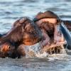 Hippos, St. Lucia