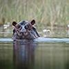 Okavango Delta, Botswana, hippo