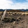 Teide Viper's Bugloss