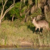 waterbuck, St. Lucia