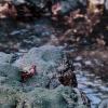 Lanzarote crab