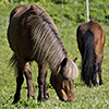 Isländer, Island-Pferde