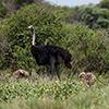 Makgadikgadi Pan, ostrich
