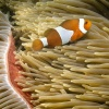 anemonefish, false percula clownfish