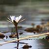 Okavango Delta, Botswana, water lily