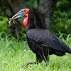 Chobe NP, southern ground hornbill