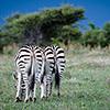 Nxai Pan, Zebras
