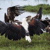 Chobe NP, African fish eagle