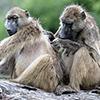 Chobe NP, baboon, groming