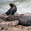 Cape Cross seals