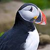 Island, Papageitaucher