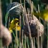 Webervogel, St. Lucia