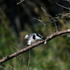 Pied king fisher, St. Lucia