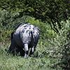 Makgadikgadi Pan, white rhino