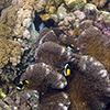 Goldschwanz-Anemonenfisch