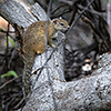 Chobe NP, squirrel