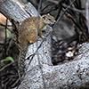 Chobe NP, squirrel