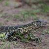 Chobe NP, lizard