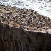 Australasian gannets, Muriwai Beach