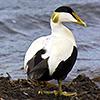 Iceland, eider duck
