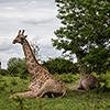 Chobe NP, giraffe