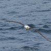 New Zealand, Doubtful Sound, albatrosses
