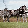 Okavango Delta, Botswana, Zebra