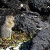Kamchatka, Tolbachik, ground squirrel