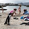 Jackass penguins Boulders Beach