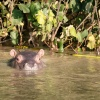 Hippo Baby, St. Lucia