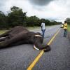 Chobe NP, dead elephant