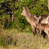 Hirschantilope, St. Lucia