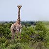 Nxai Pan, giraffes