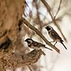 Namib Webervögel