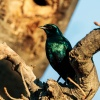 Meve's long-tailed starling