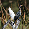 Okavango Delta, Botswana, cormorant