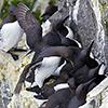Iceland, seabirds