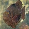 Anemonenfische orange